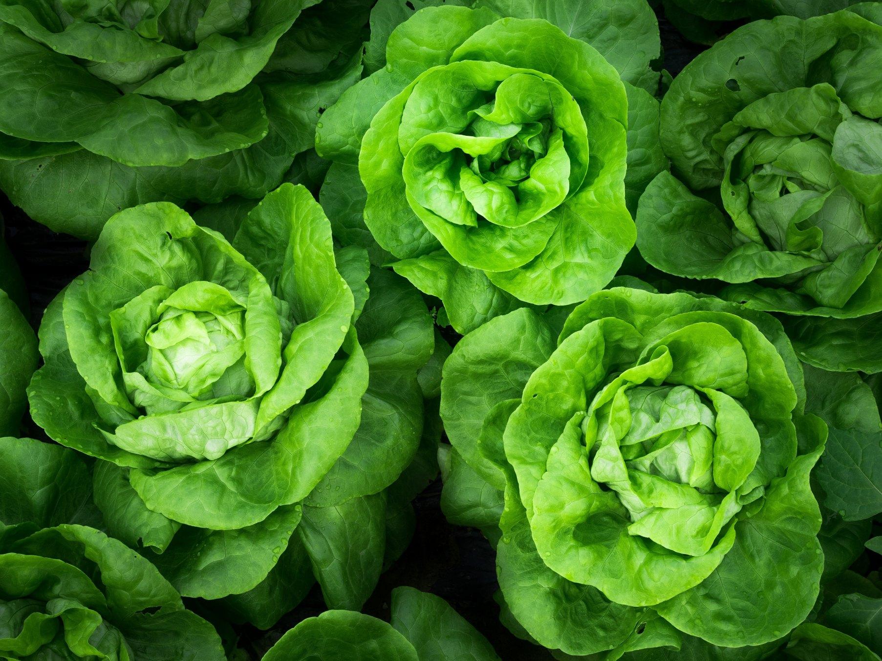 Salades vertes du jardin