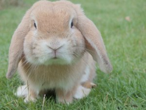 Petit lapin à tête de bélier