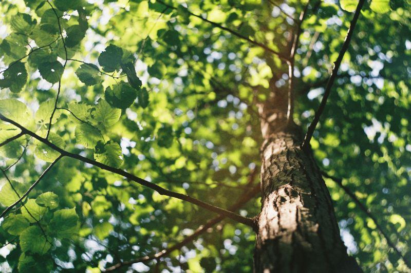 La frondaison d'un chêne